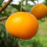 A uvaia tem aroma suave e agradável com alto teor de vitamina C (até 4 vezes mais do que a laranja)